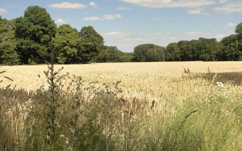 Kornfeld und Bäume